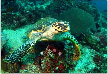 wpid-BUYanihan-Group-Buying-Philippines-Discounts-and-Deals-Vistamar-Batangas-Dive-Diving-Turtle.jpg