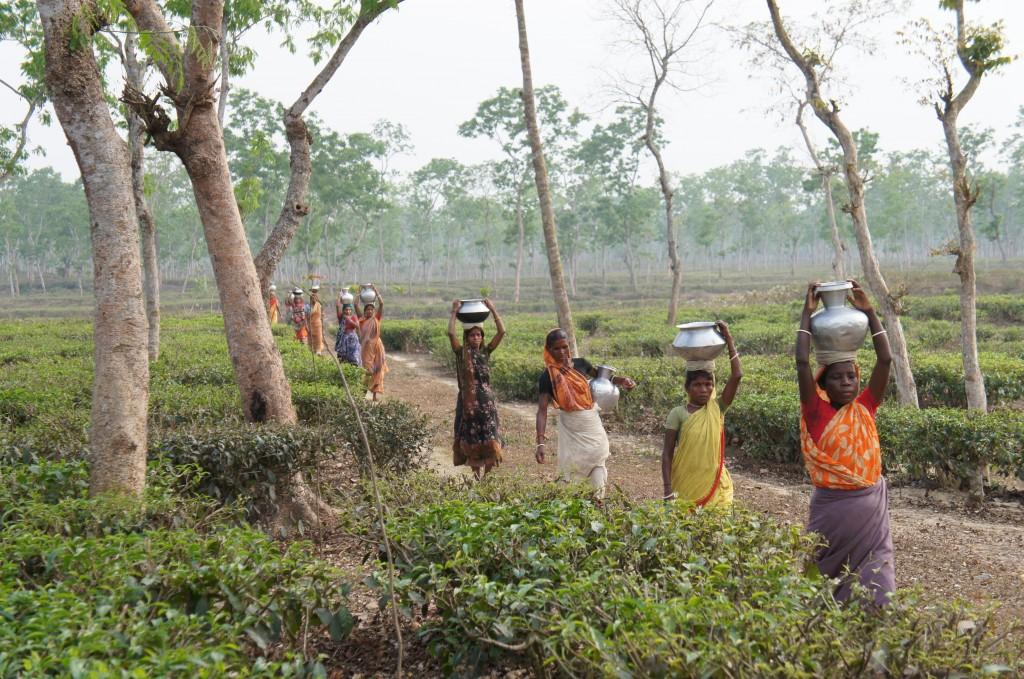 tea plantations Bangladesh