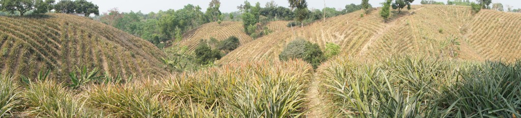 Pinneaple plantations in Bangladesh