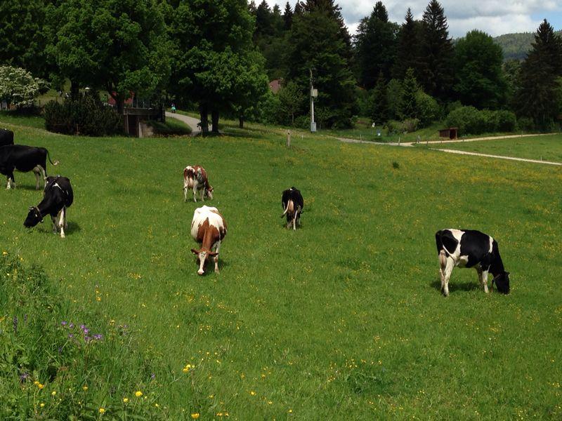 Vacas por el camino :-)
