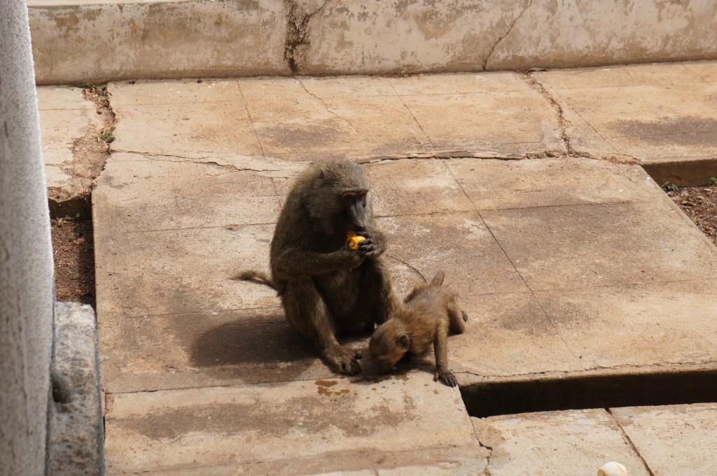 Los monos que te roban la comida a la que te despistas